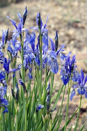 iris ruthenica siebenbuerger gras schwertlilie