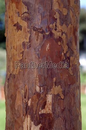 kiefernstamm kiefer pinus kiefernbaum