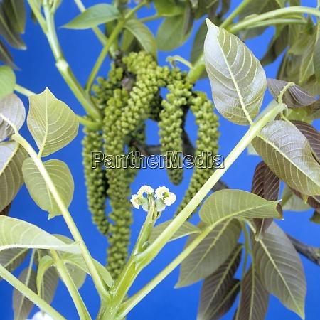 walnussbaumbluete weiblich maennlich