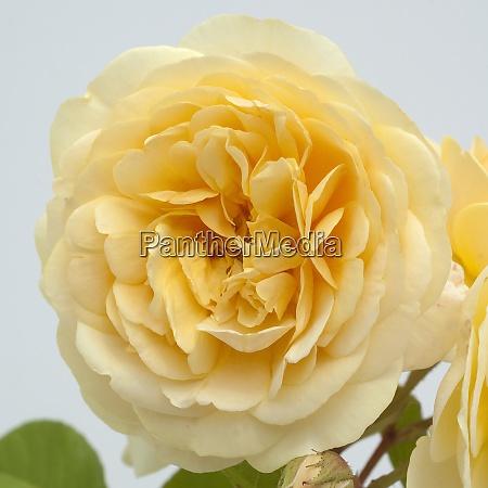 englische rose david austin strauchrose blume