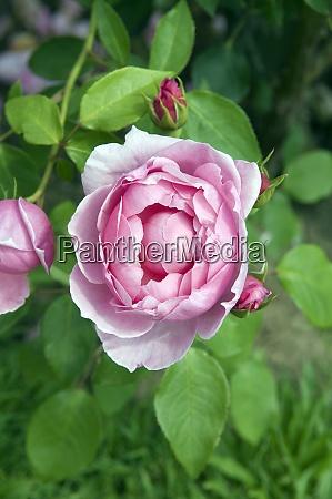 englische rose heather austin