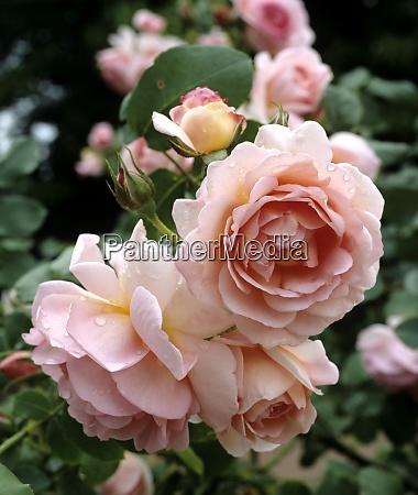 englische rose hero