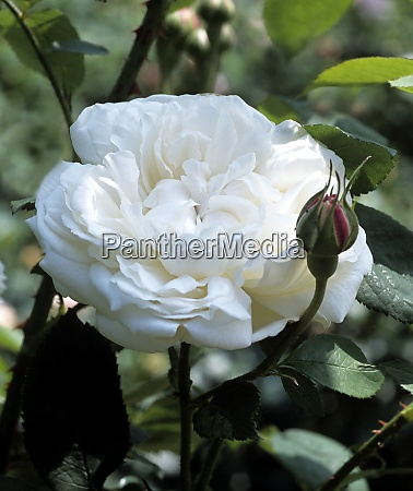 englische rose winchester cathedral