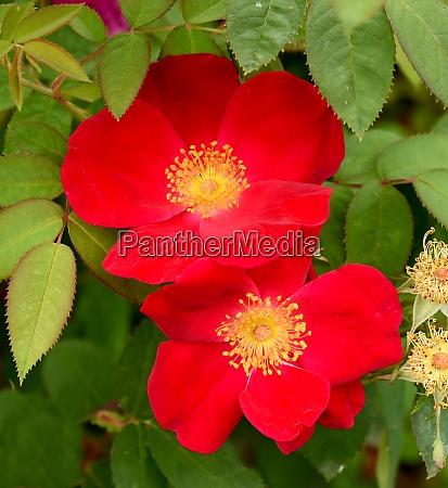 essig rose rosa gallica gallica rose