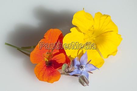 kapuzinerkresse tropaeolum majus grosse rankpflanze essblume