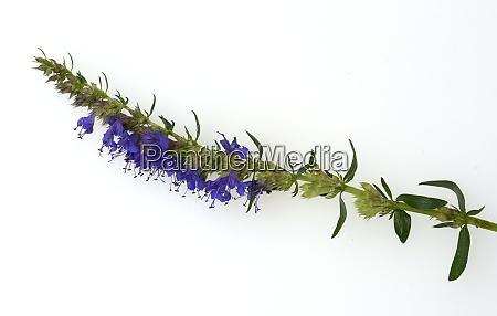 ysop hyssopus officinalis heilpflanze
