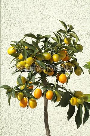 kumquats fortunella citrus