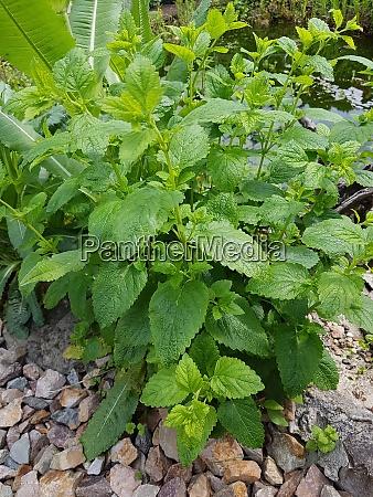 zitronenmelisse melissa officinalis heilpflanze kraeuter