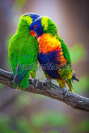 a pair of rainbow lorikeets being