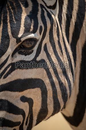 close up of plains zebra face
