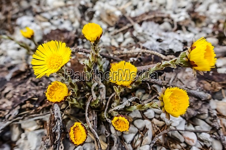 coltsfoot yellow flower in spring on