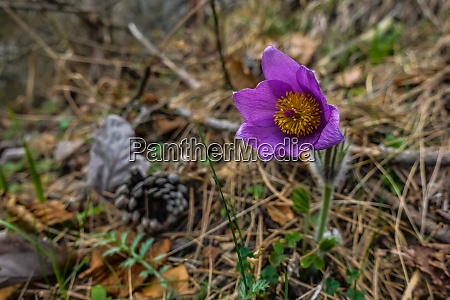 common pasque flower in the mountains