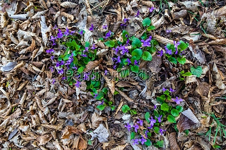 fresh purple violet on the forest