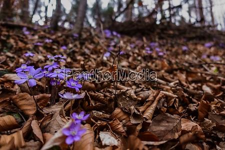 liverleaf flower in brown leaves while