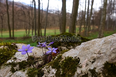 liverleaf flower on a rock with