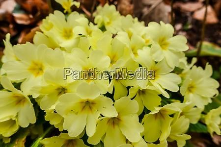 yellow primrose while hiking in the
