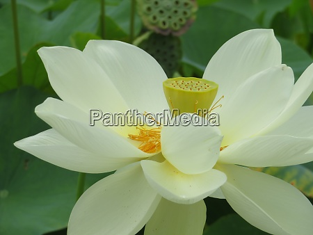 beautiful water lily flower large size