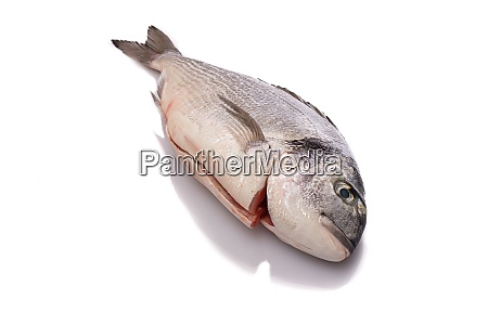 raw gilthead fish white isolated