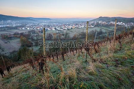 grapes in winter dawn vineyard