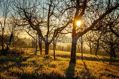 sun star with fruit trees in