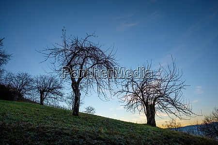 old fruit trees in a meadow