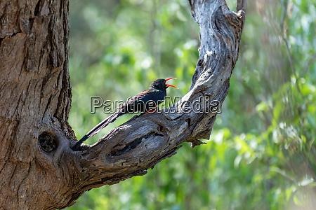 green wood hoopoe namibia africa wildlife