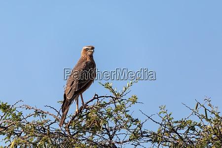 juvenile pale chanting goshawk namibia africa