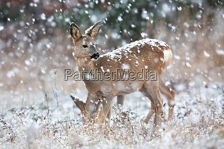 roe deer observing on field in
