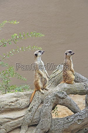 meerkats standing wary rodents standing on