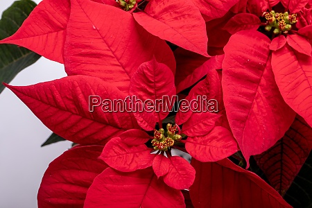 the poinsettia red flowers the flower