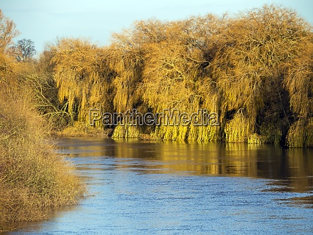weeping willow trees on a riverbank