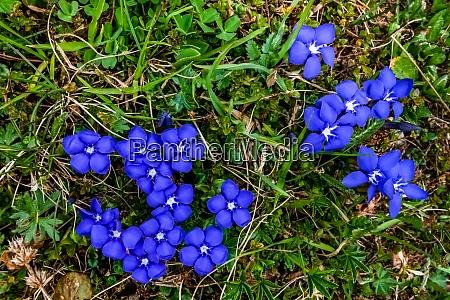 blue fresh gentian flowers in the