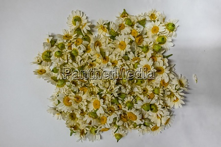 chamomile flowers at white background