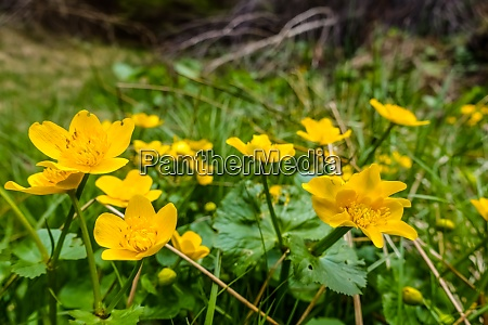 fresh marsh marigolds in the spring