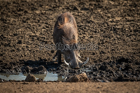 common warthog drinks from muddy rocky