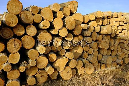 poplar trees cut for timber poplar