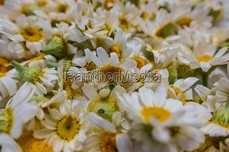 lot of fresh chamomile flowers closeup