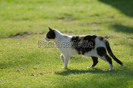 cat stalking on the grass of