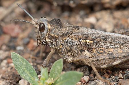 grasshopper in the municipality of arrecife