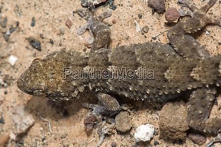 east canary gecko tarentola angustimentalis