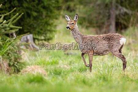 pregnant roe deer doe changing coating