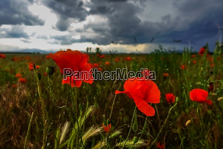 colorful glowing poppy field in the