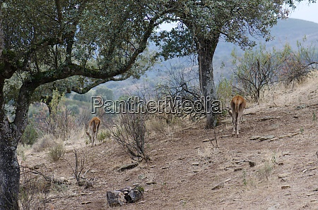 spanish red deers