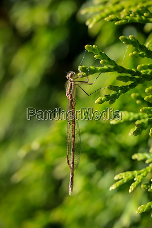 a dragonfly clings to a conifer