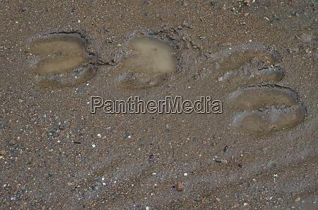 wild boar tracks on the mud
