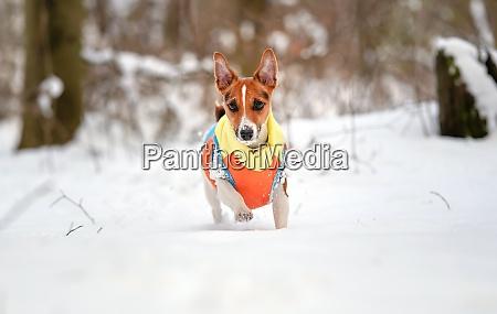 jack russell terrier walking in deep