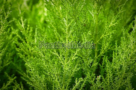 backgrounds of tiny green needles on