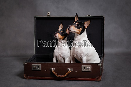 two dogs in a brown suitcase
