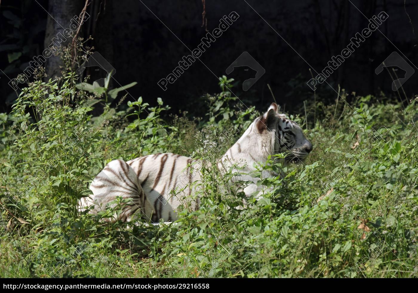 white, bengal, tiger - 29216558
