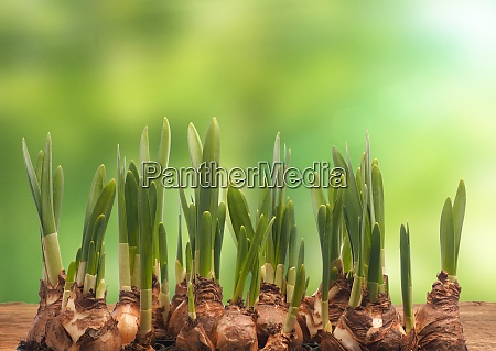 spring background with daffodil bulbs on
